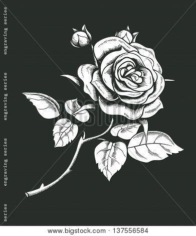 Hand sketched white rose in vintage engraving style. Baroque decorative element. Floral doodles, leaves, branches, flowers, flower bud, laurels. Black and white illustration. Vector illustration