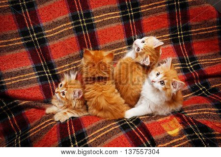 Four cute little red kittens hide in folds tartan plaid. Pets. Funny animals.