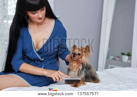 Girl combs wool Yorkshire Terrier. Home pet. Pedigree dog. Funny animals.