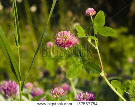 Flowers and leaves of Red Clover Trifolium pratense with bokeh background macro selective focus shallow DOF