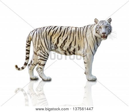 White tiger isolated on white background,clipping path