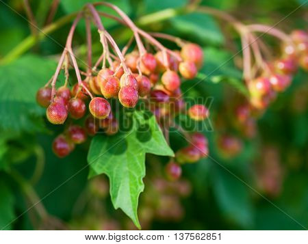 Red Fruits Of Viburnum On Green Shrub In Summer
