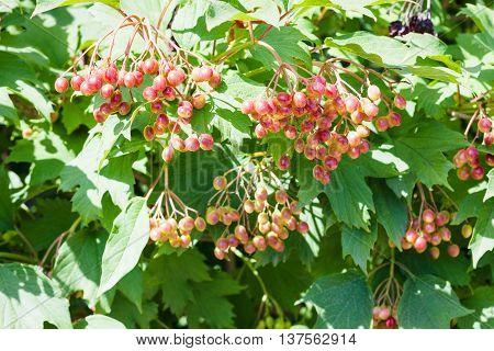 Shrub Of Viburnum Plant With Fruits