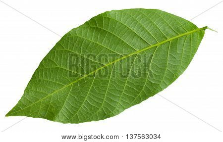 Back Side Of Green Leaf Of Common Walnut Tree