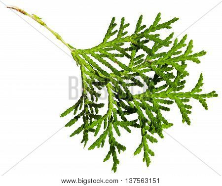 Green Twig Of Thuja Orientalis Plant Isolated