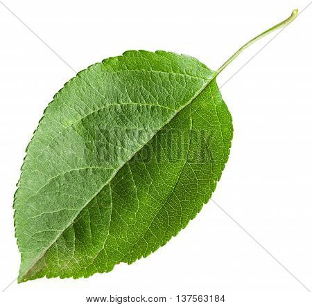 Green Leaf Of Apple Tree Isolated