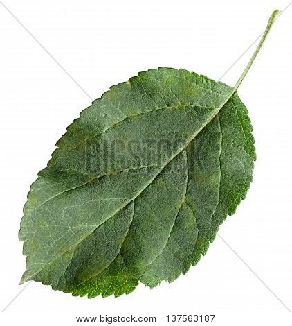 Fresh Leaf Of Apple Tree (malus Domestica)