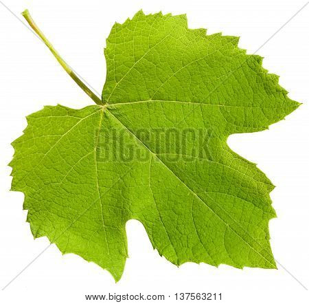 Green Leaf Of Grape Vine Plant (vitis Vinifera)