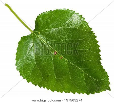 Fresh Leaf Of Morus Tree (blackberry) Isolated