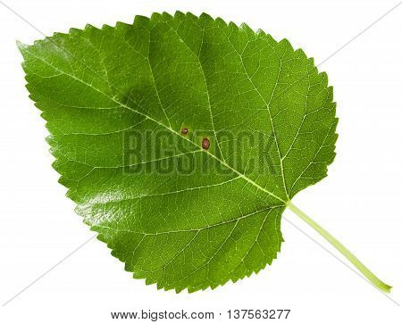 Green Leaf Of Morus Tree (black Mulberry) Isolated