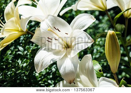 white flowers of Lilium candidum (Madonna Lily) close up in green garden in sunmmer day