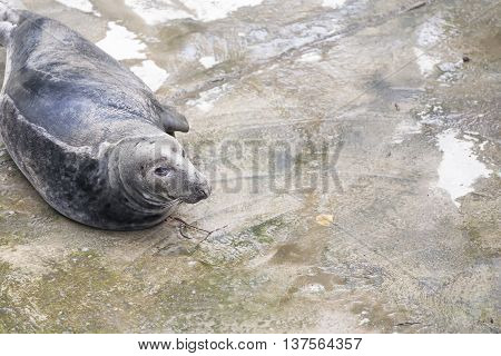 Black seal on a concrete pavement. Copy space to the right.