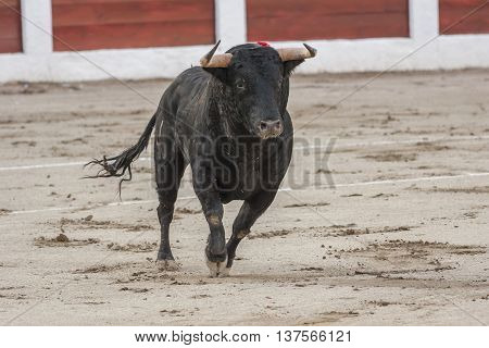 Capture of the figure of a brave bull of hair black color in a bullfight Spain