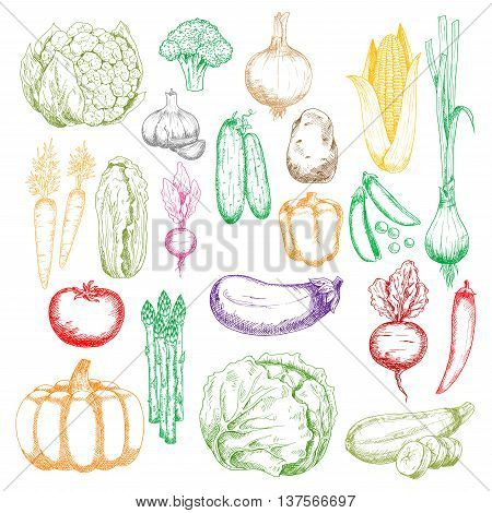 Colored sketched healthy farm corn, pumpkin and cabbages, tomato, onions and peppers, broccoli, eggplant and garlic, green peas, cucumbers and beet, cauliflower, radish and asparagus vegetables icons