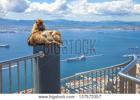 Relaxed apes sitting on a top of Gibraltar Rock, the famous wild macaques of Upper Rock Natural Reserve. Gibraltar is a British colony that is located at southern end of Iberian Peninsula.