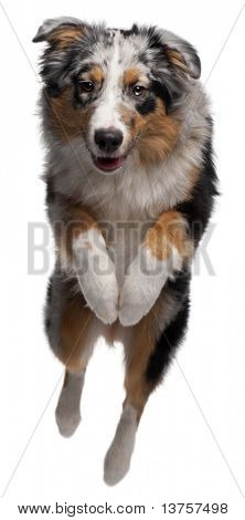 Australian Shepherd dog jumping, 7 months old, in front of white background