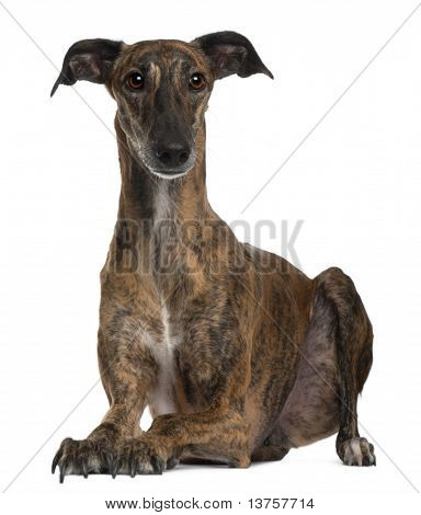 Galgo sitting in front of white background