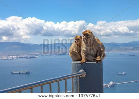 The famous wild macaques of Upper Rock Natural Reserve in Gibraltar Rock. Gibraltar is a British colony that is located at southern end of Iberian Peninsula.