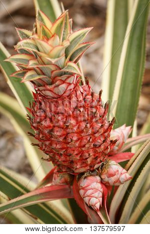 Dwarf variegated pineapple plant with small and large fruit