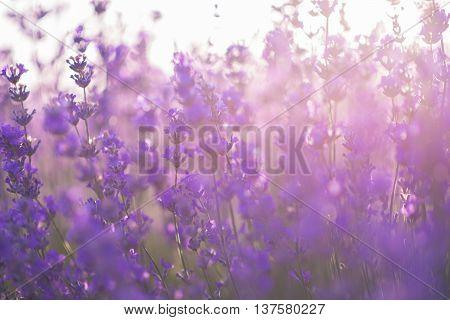 Soft focus of lavender flowers under the sunrise light