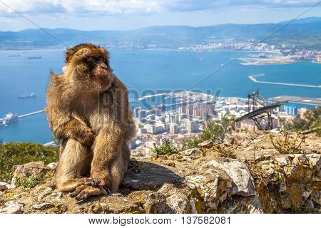 Close up of a wild macaque or Gibraltar monkey, one of the most famous attractions of the British overseas territory.