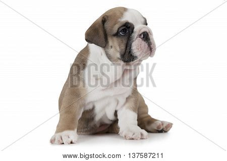 English Bulldog puppy sitting on white background and looking to the side