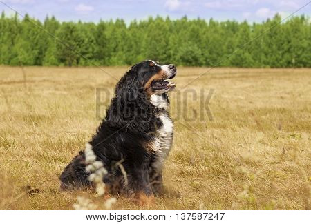 Bernese Mountain Dog sitting in the middle of a green lawn on a sunny summer day