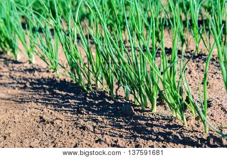 Close up of rows of sown onions plants growing in the clay soil of a Dutch horticulturist. It's a sunny day in the summer season.