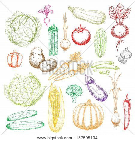 Fresh green cabbages, peas and cucumbers, cauliflower, asparagus and broccoli, red tomato, beet, peppers and radish, orange pumpkin, carrots and onions, corn cob, zucchini and garlic, potatoes and eggplant vegetables sketch icons