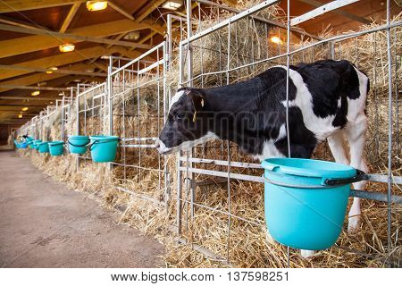 Calf standing in a cage sticking his head out a bucket of food