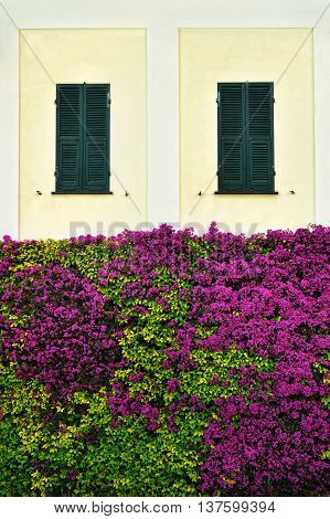 Beautiful wall overgrown bougainvillea with green window shutters