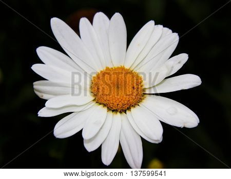 Chamomile Flower super macro picture amazing texture