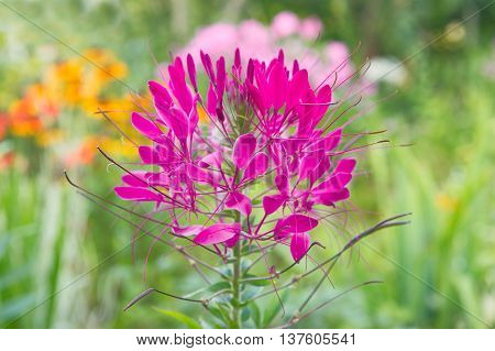 A beautiful pink cleome hassleriana flower in the garden