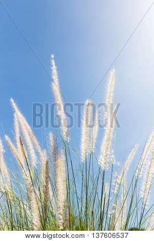 Cogon Grass On Blue Sky Background