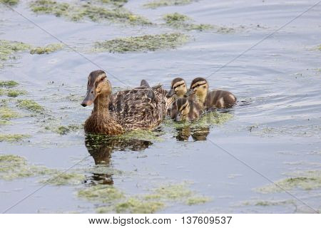 A mother mallard duck swimming on a pond with her three ducklings.