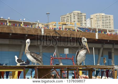 Peruvian Pelicans (Pelecanus thagus) at the fish market in the UNESCO World Heritage port city of Valparaiso in Chile.