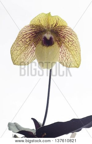 Paph. Ma Belle is an easy-to-grow primary hybrid. The picture is one of the first seedlilngs from this cross that bloomed. These are really nice and large strong plants.