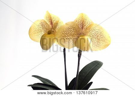 Paphiopedilum malipoense is a species of orchid commonly known as the Jade Slipper Orchid.