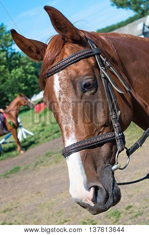 head race horse and clad outfit from belts