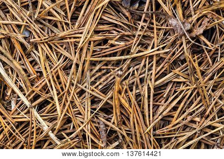Dry Pine Needles On The Ground Closeup View Background