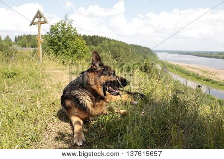 Dog German Shepherd In A Summer Day