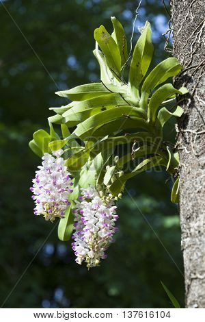 Aerides houlettiana Rchb. f.Wild orchids,Orchids in the forest.