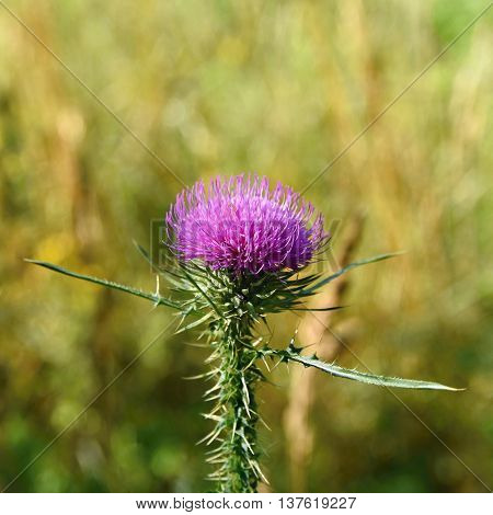Nice colored thistle with blurred natural background.
