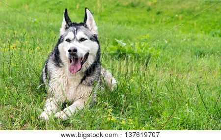 adult dog breed alaskan malamute is on the field with green cut grass in summer, muddy after walking,