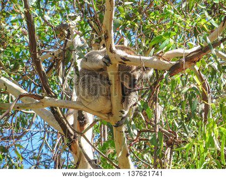 Koala bear in a tree in Australia eating leaves