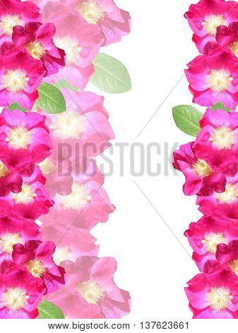 Delicate floral background of beautiful pink dogrose
