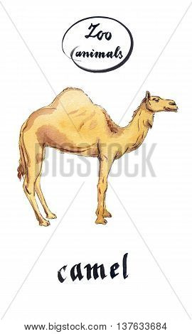 Arabian Dromedary Camel hand drawn - watercolor Illustration