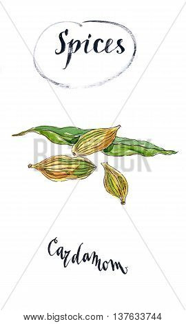 Spice for food culinary seasoning spices for cooking the plant for culinary dishes seasoning for food spices for cooking cardamom grains cardamom spice hand drawn - watercolor Illustration