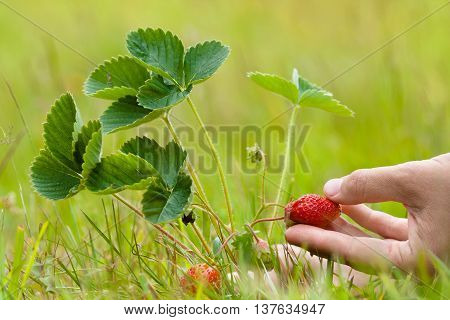 woman hand picking berries of strawberries in the garden