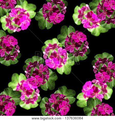 Delicate floral background of beautiful inflorescences isolated pelargonium